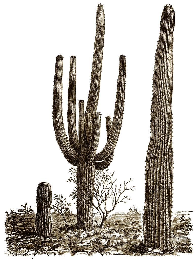 PNG File Name: Cactus PlusPng.com  - Cactus PNG