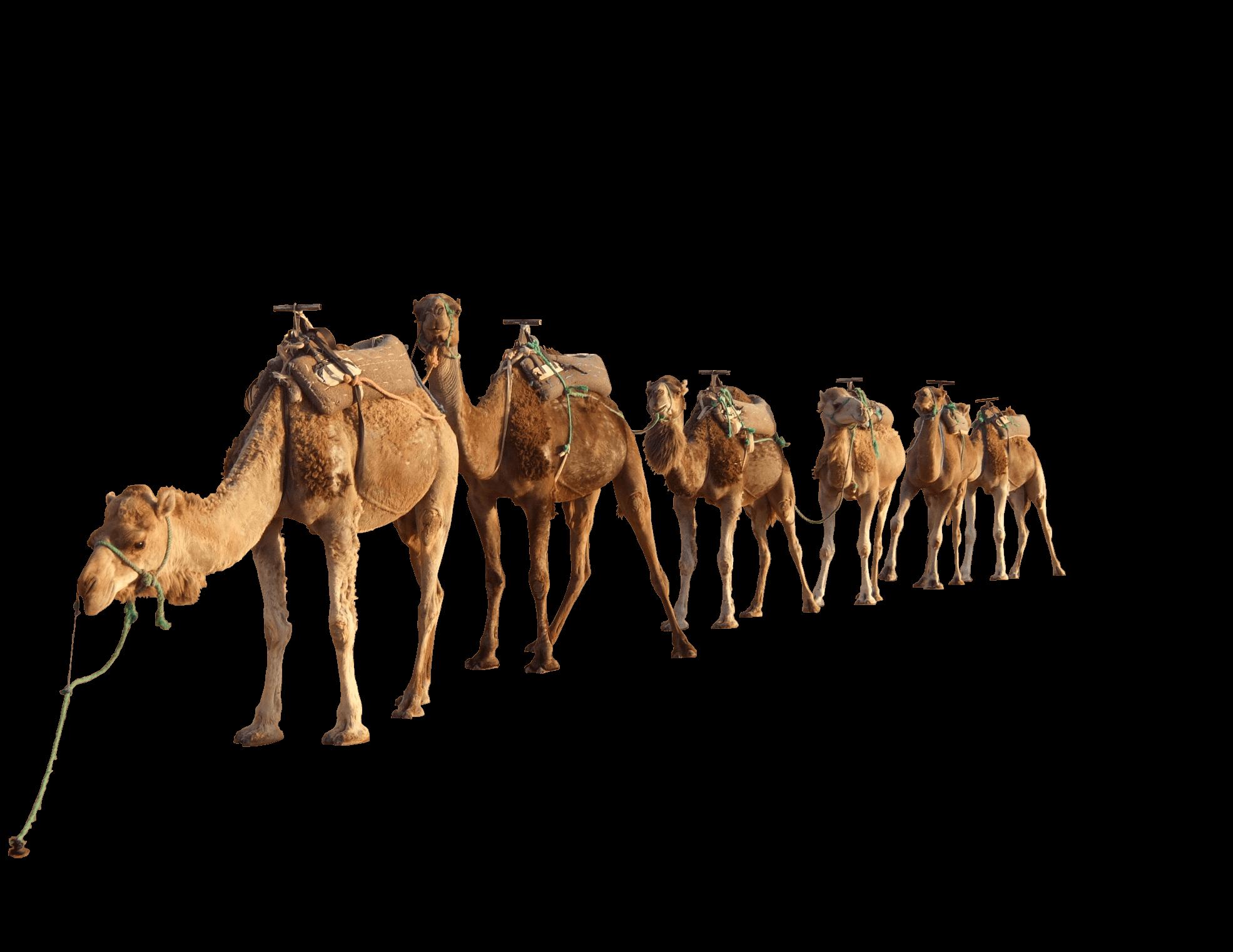 Camel Group - Camel PNG