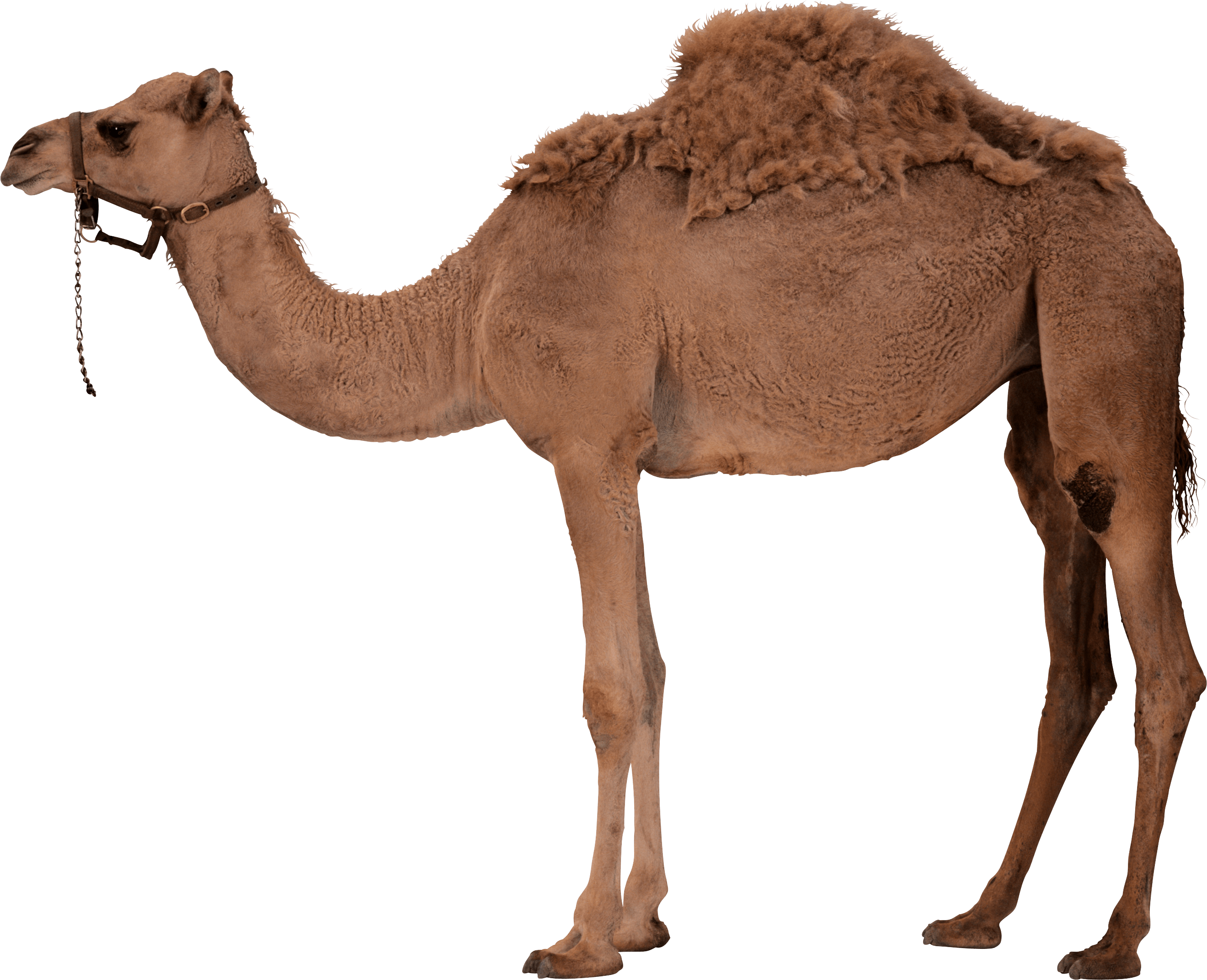 Camel HD PNG