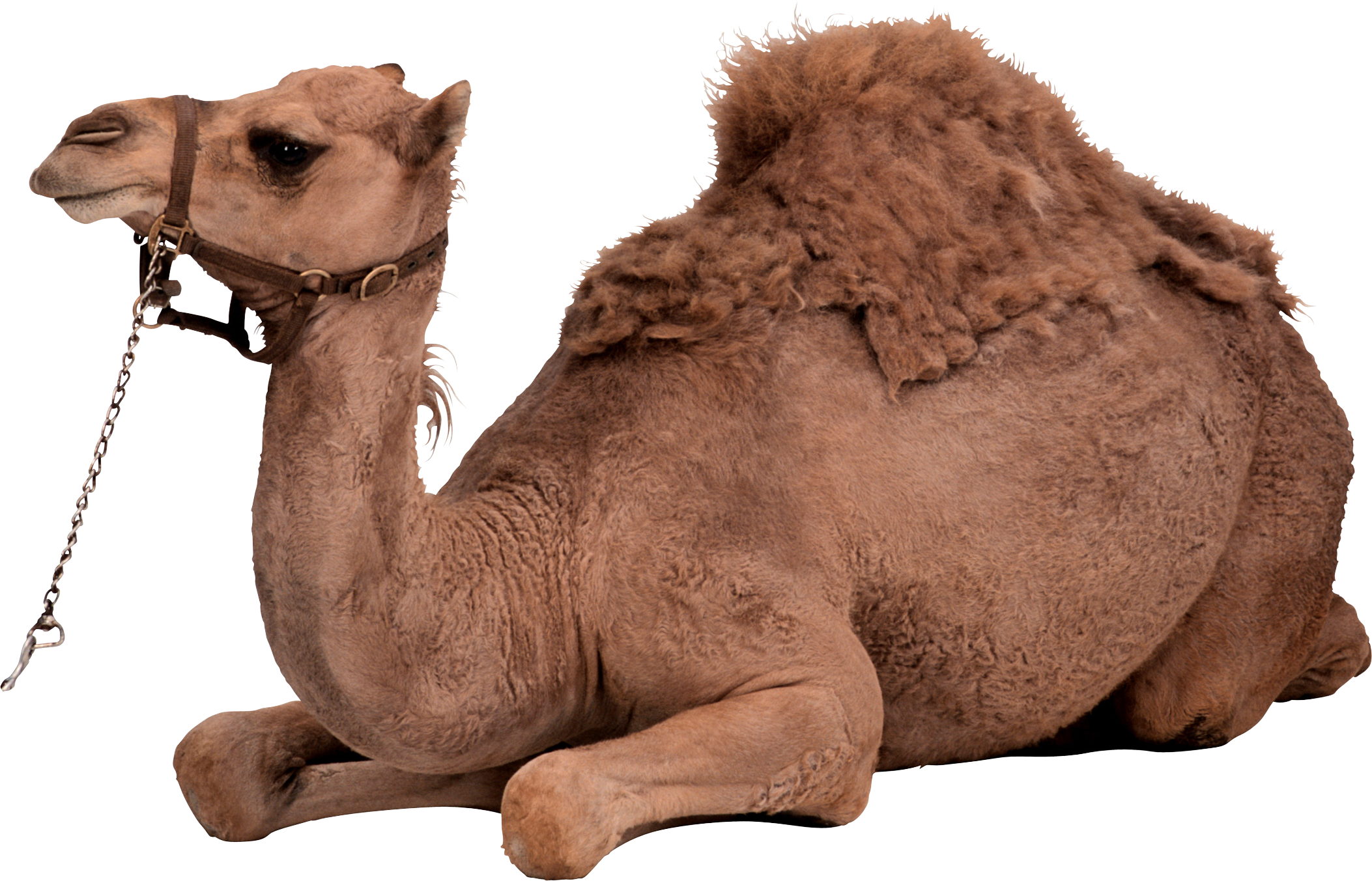 Camel PNG - 21104