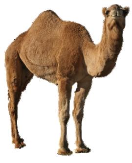 Camel PNG - 21095