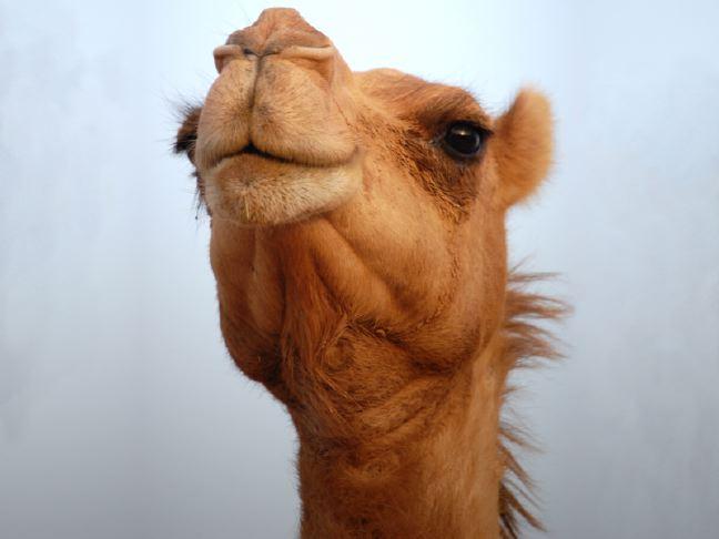 Camel PNG - 21108