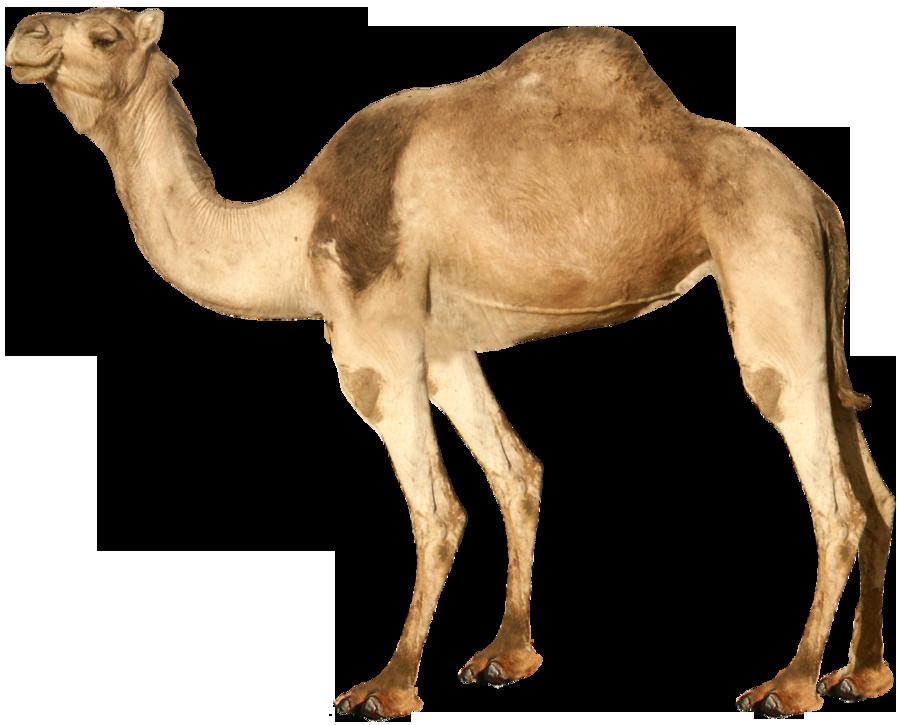 Camel PNG - 21096