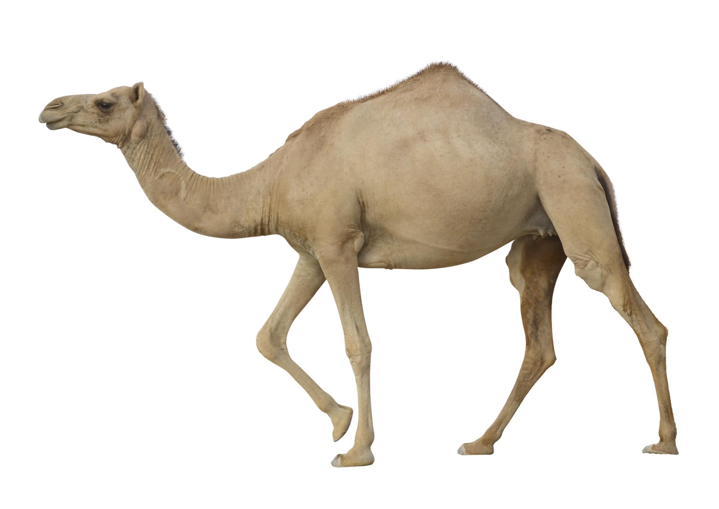 Camel PNG - 21106