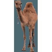 Camel PNG - 21097