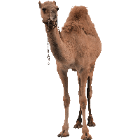 Camel Png Image PNG Image
