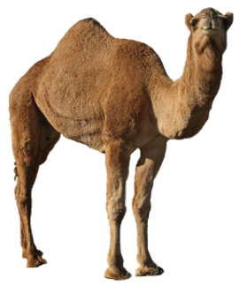 Camel PNG Picture