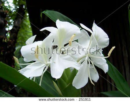 Fragrant Camia, Philippine flower - Camia Flower PNG
