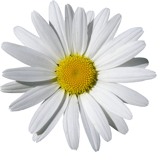 Camomile PNG - 19666
