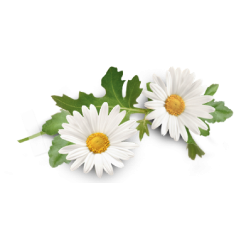 Camomile PNG - 19681