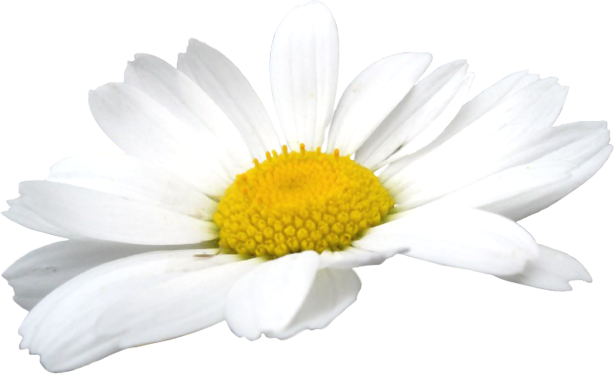 Camomile PNG - 19674