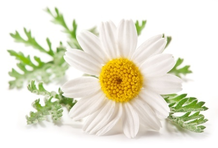Camomile PNG - 19678
