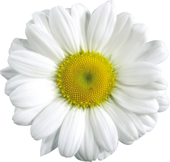 Camomile PNG - 19675