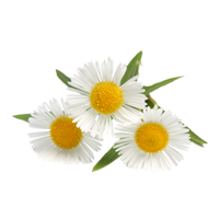 Camomile PNG - 19669