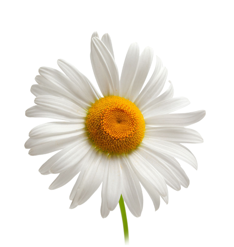 Camomile PNG - 19665