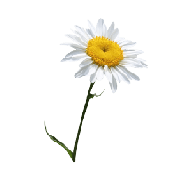 Camomile PNG - 19671