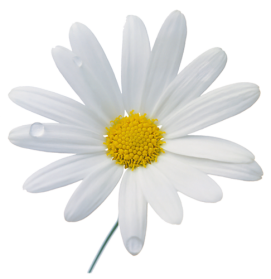 Camomile PNG - 19679