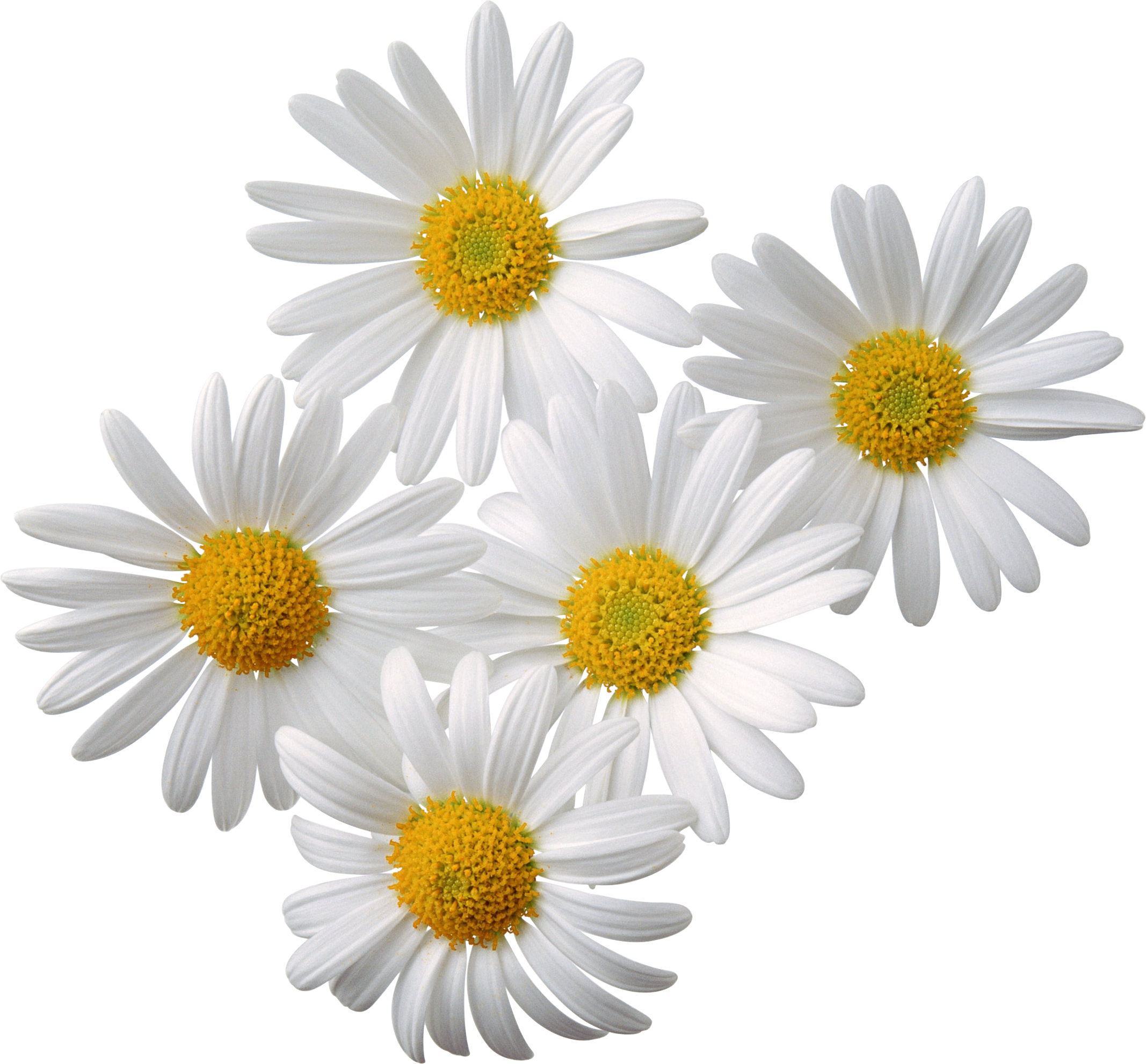 Camomile PNG - 19668
