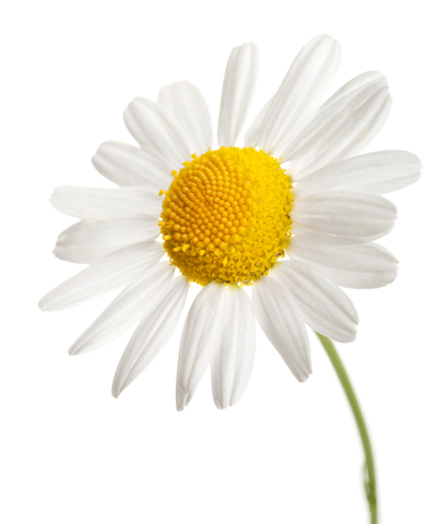 Camomile PNG - 19684