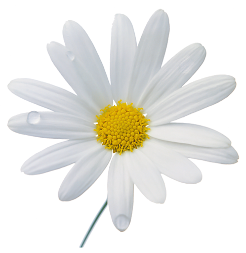 Camomile PNG - 19673