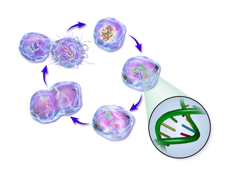 File:Life of a Cancer Cell.png - Cancer PNG
