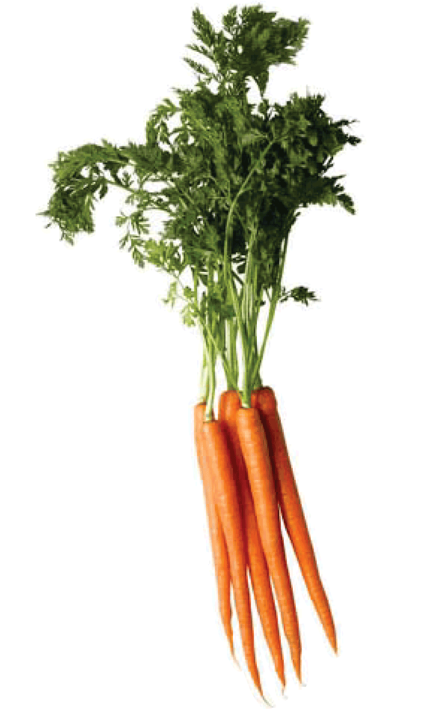 Carrot PNG - 19927