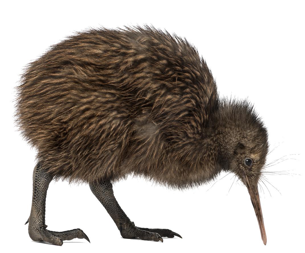 Cartoon Kiwi Bird PNG - 89038