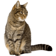 Cat and Dog transparent background · Tabby cat transparent background image - Cat And Dog PNG No Background