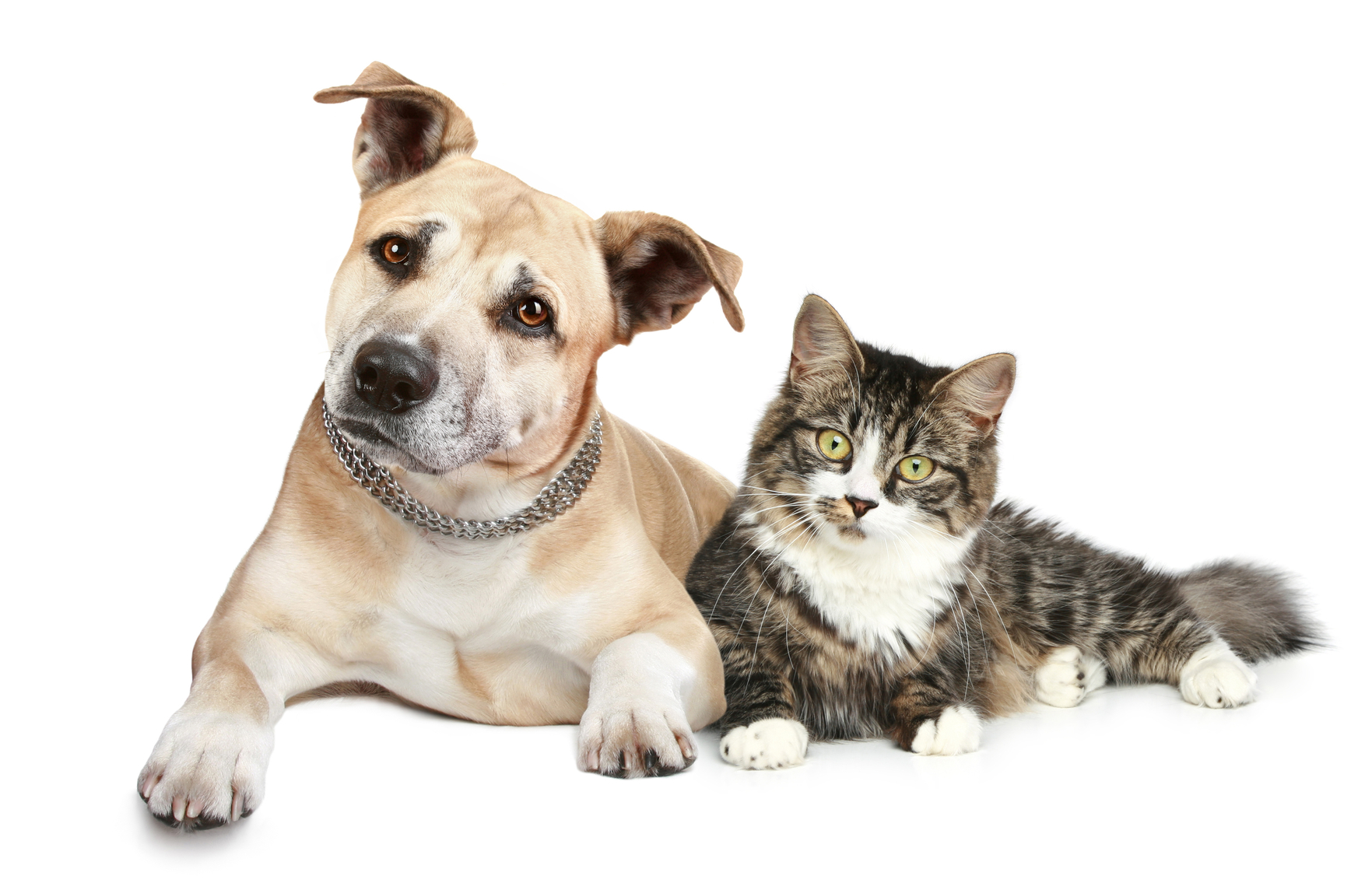 pet allergies - Cat And Dog PNG No Background