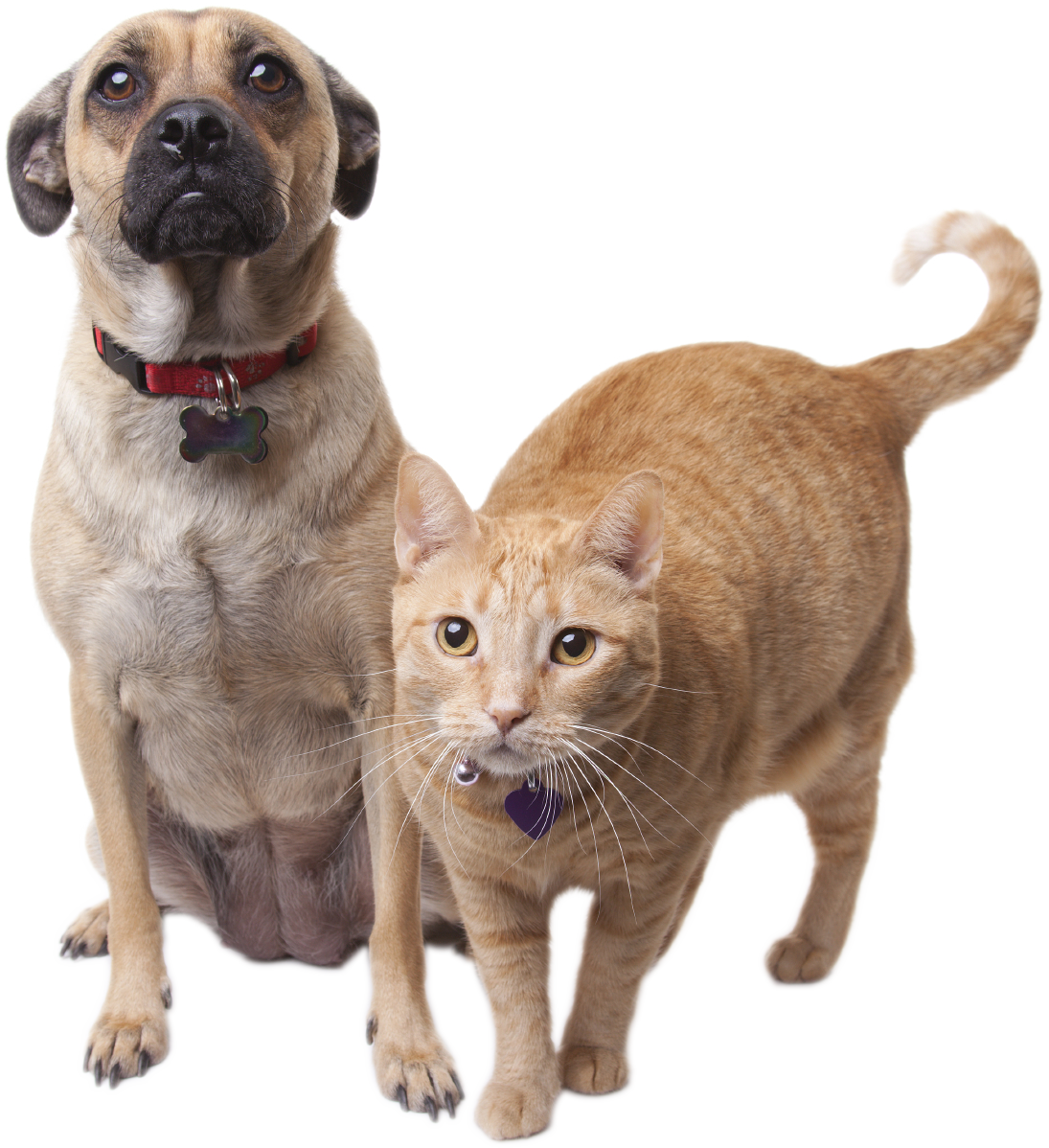 Puggle and Cat - Cat And Dog PNG No Background