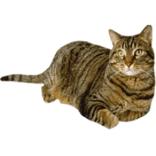 Wild Cat transparent image · Tabby Cat lying down transparent background - Cat And Dog PNG No Background