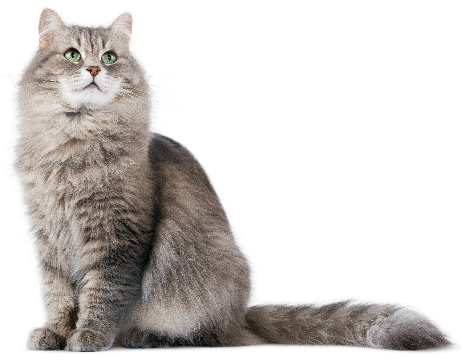Cat HD PNG