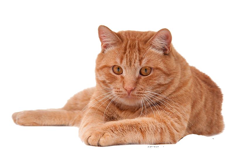 Cat HD PNG - 117478