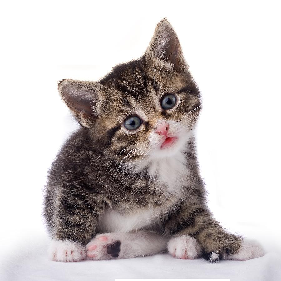 Cat HD PNG - 117474