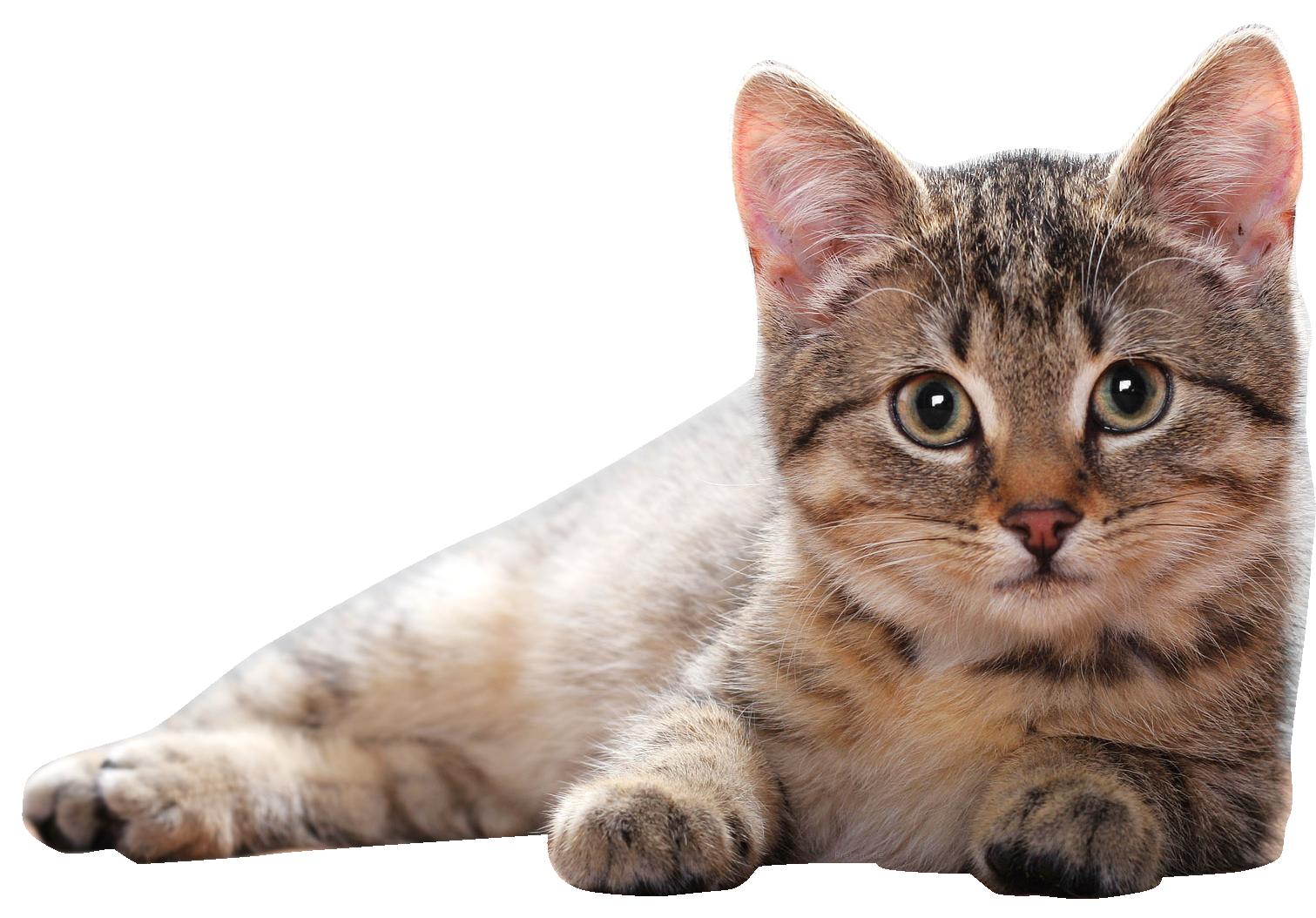Cat PNG Clipart - Cat PNG