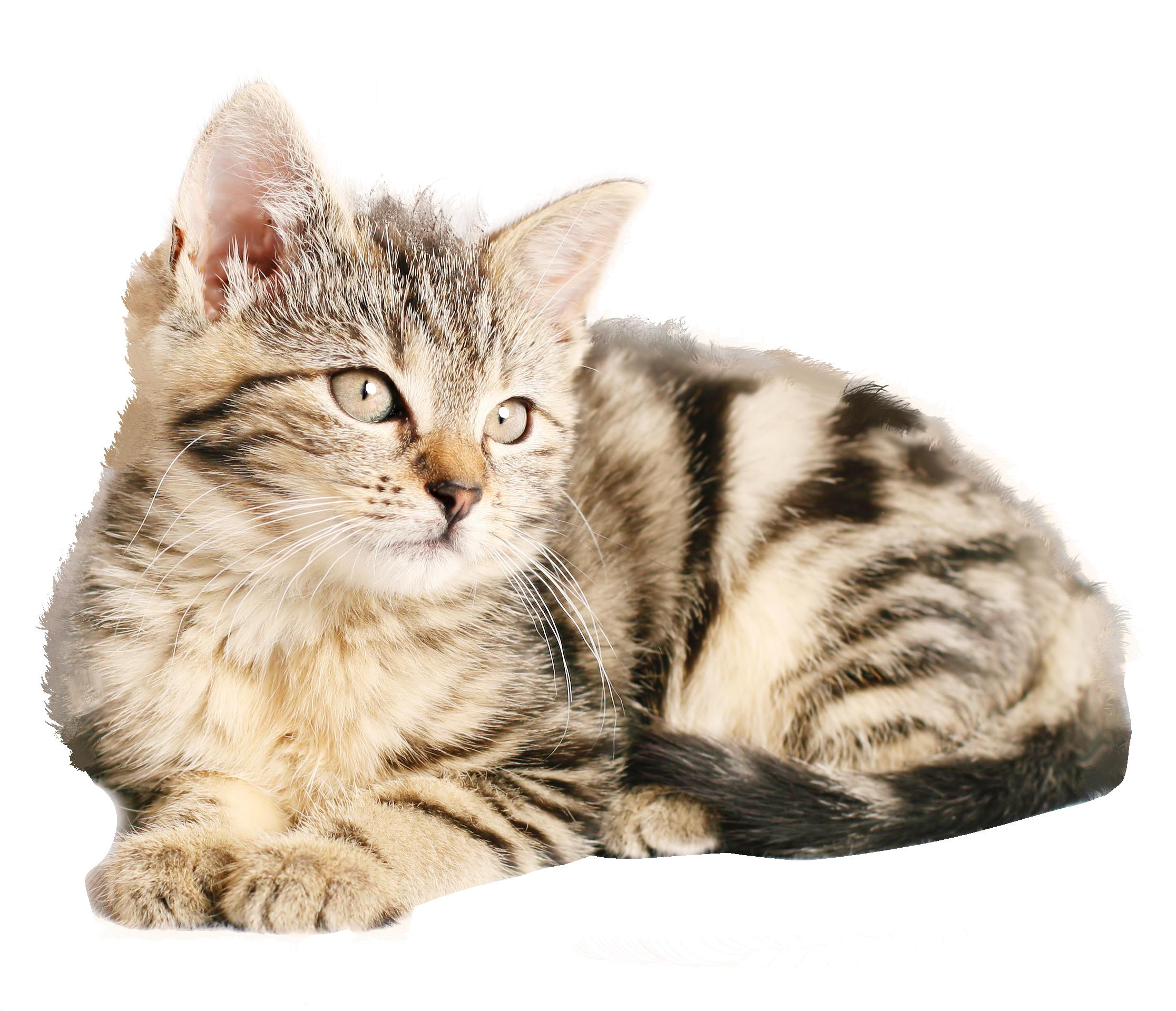 Cat PNG - 15588