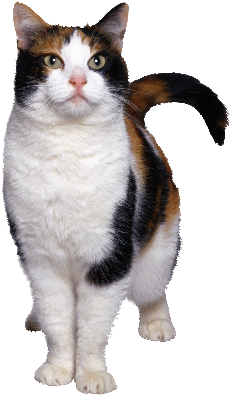 Cat PNG - 15587