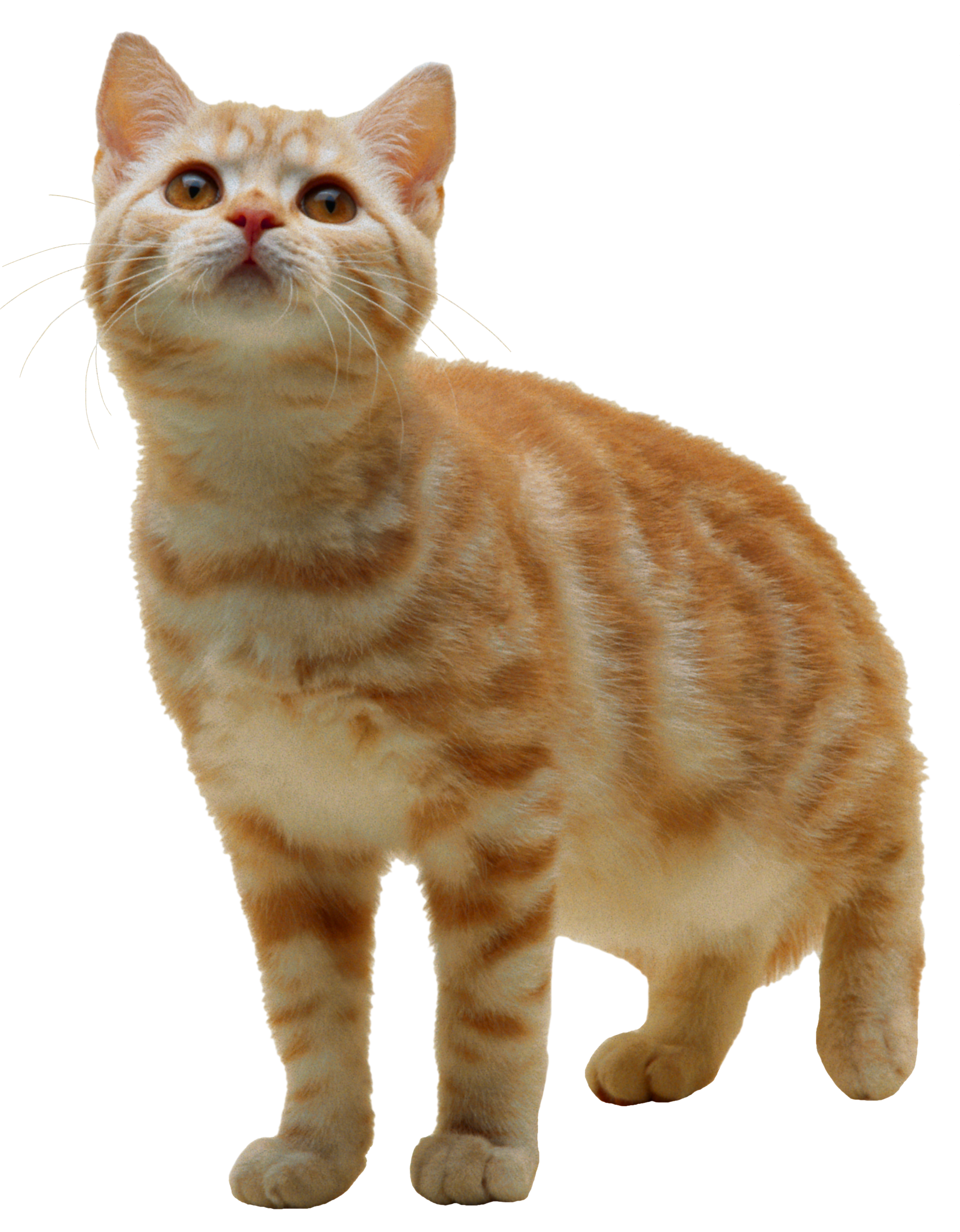 cat png image, free download picture, kitten - Cat PNG