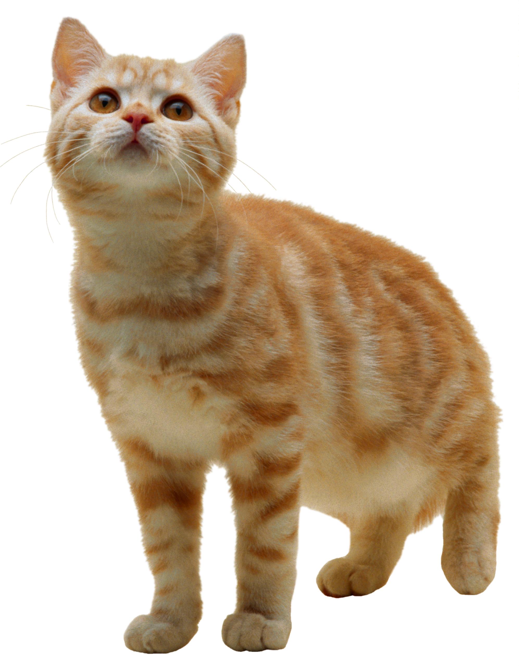 Cat PNG - 23022
