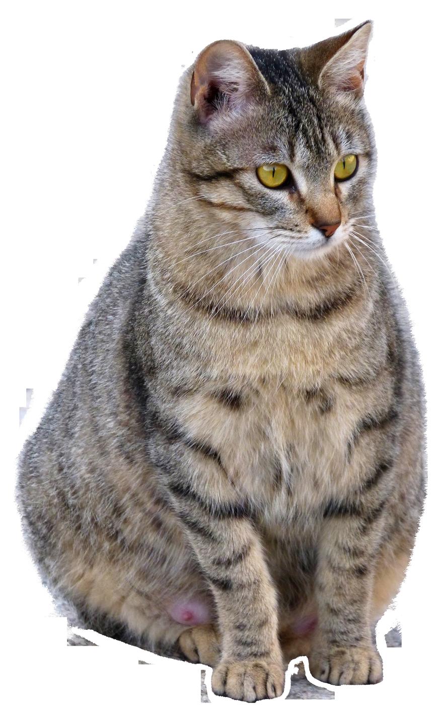 Cat PNG Transparent Image - Cat PNG