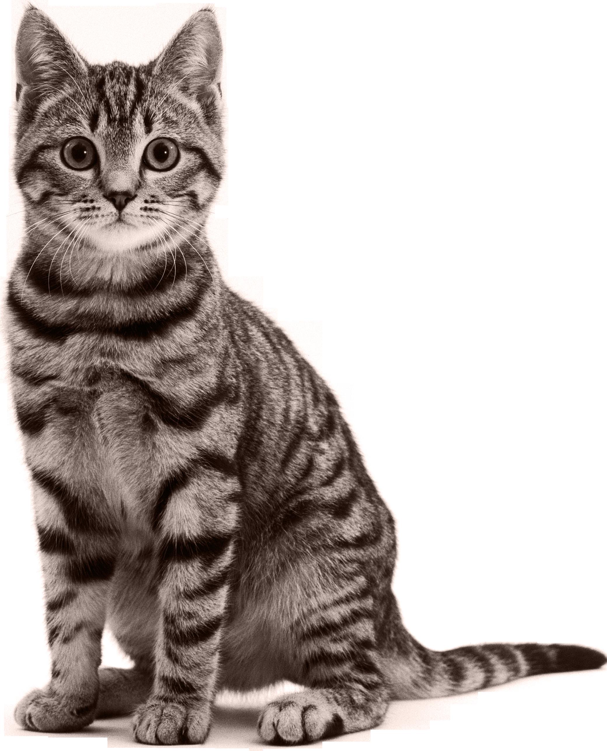 Cat PNG - 15585