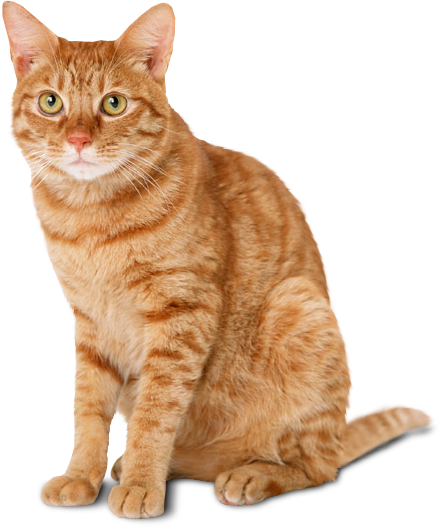 Sitting Yellow Cat Png image #40351 - Cat PNG