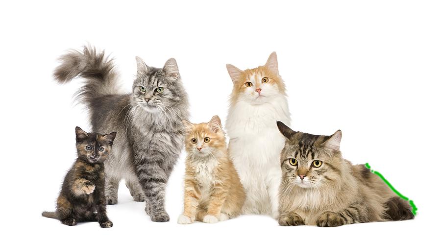 cats pancreatitis Austin - Cat Vet PNG