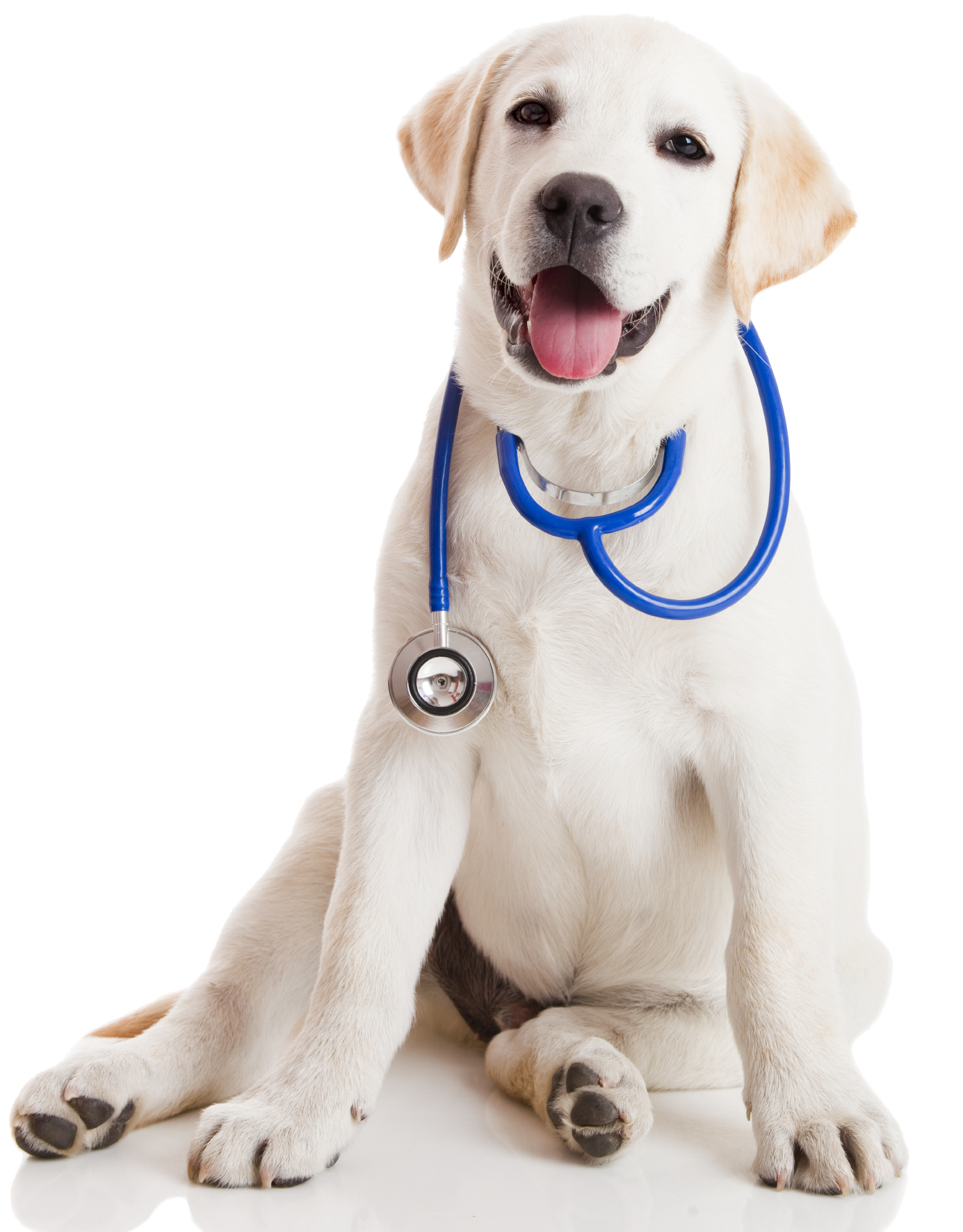 lab_pup_stethescope.png - Cat Vet PNG