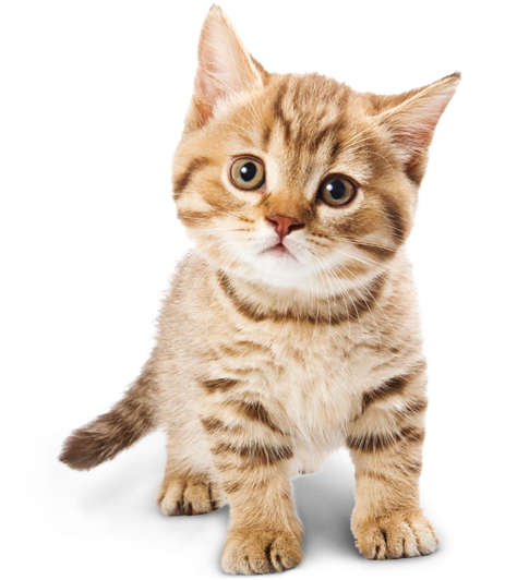 Miami Veterinary Specialists: Pet Specialist in Miami and the Florida Keys - Cat Vet PNG