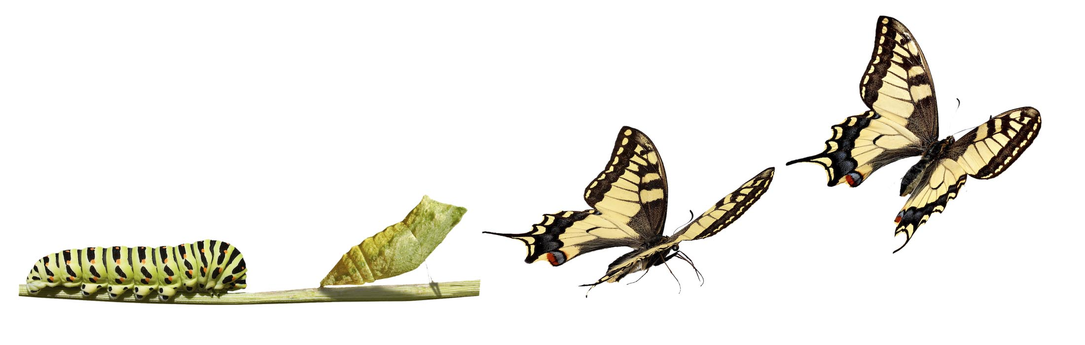 Caterpillar Into Butterfly PNG