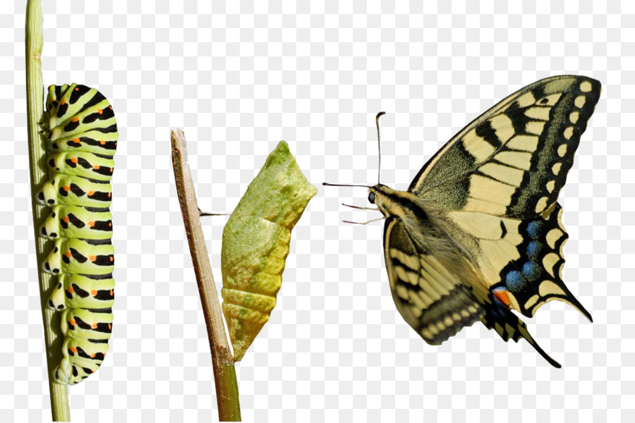 Caterpillar Into Butterfly PNG - 157055