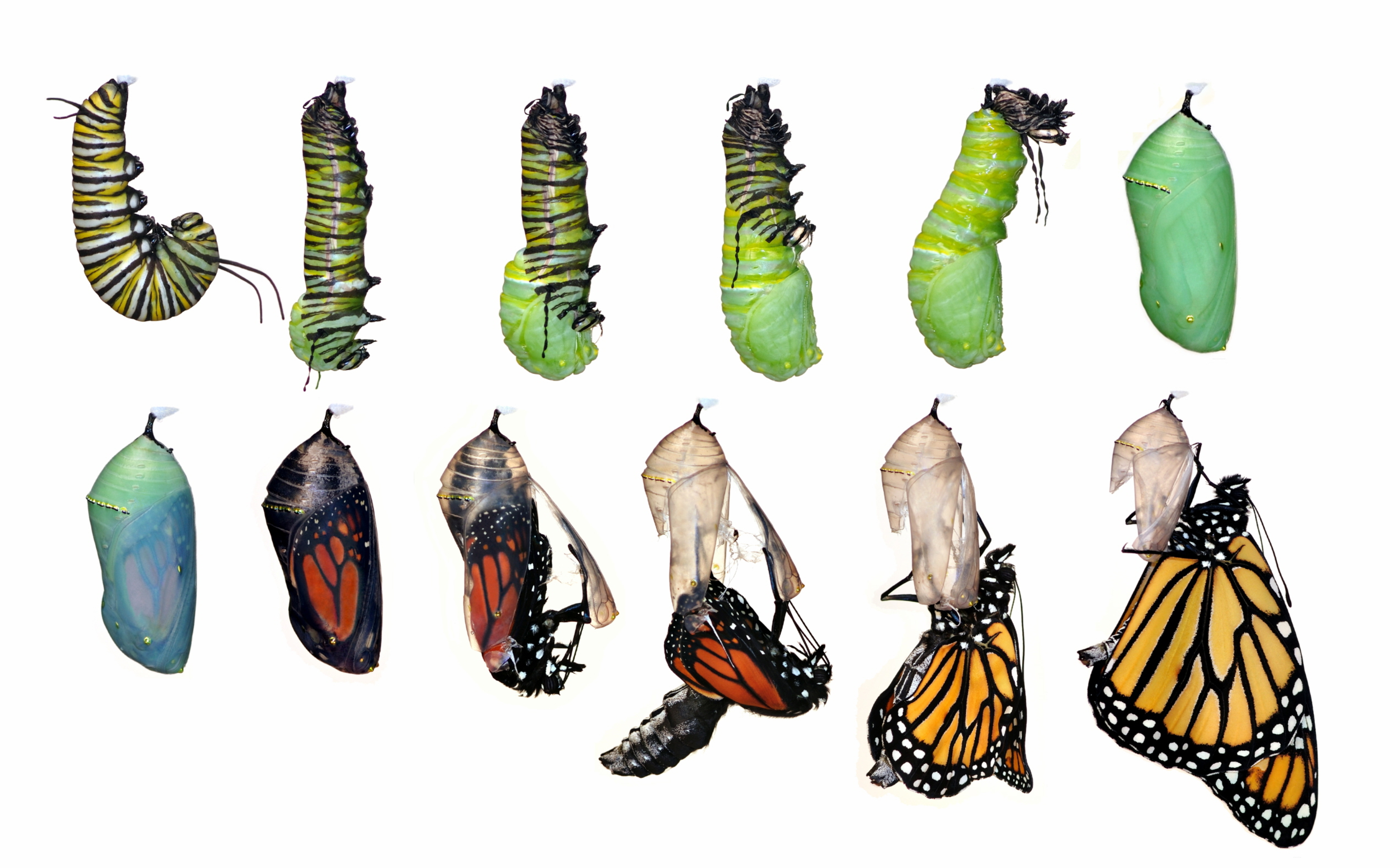 Caterpillar Into Butterfly PNG - 157045
