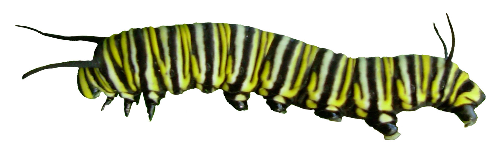 Caterpillar Into Butterfly PNG - 157053