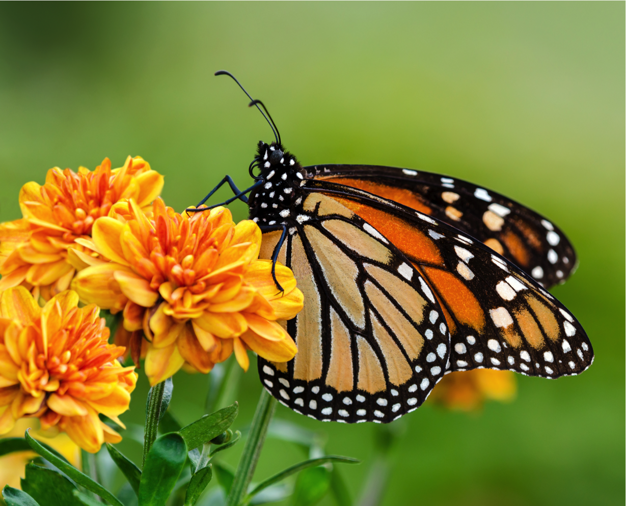 Caterpillar Into Butterfly PNG - 157054